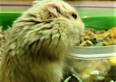 Aziz is a dwarf Hamster named after the well known_31871641293_l