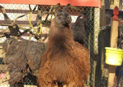 Baby the Llama_33971000616_l