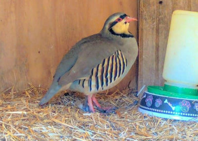 Happy Valentines Day! Did you know the Chukar Partridge symbolizes_32773843001_l
